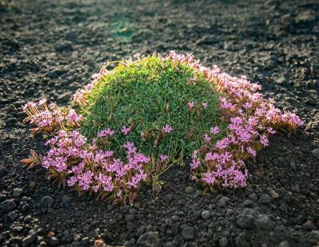 Saponaria-Aetnensis-Etna-etna3340