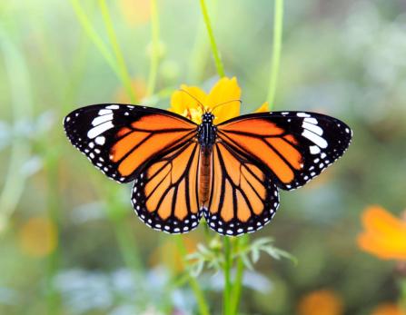 festa farfalle